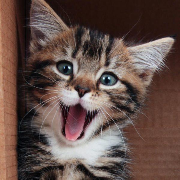 Yawning tabby kitten